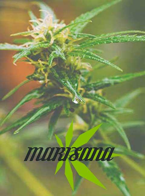 Marisana cannabis club Barcelona