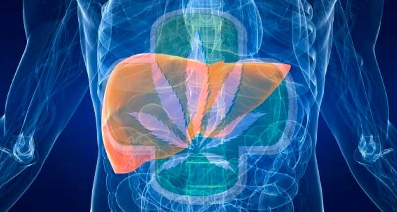 El consumo diario de cannabis puede proteger el hígado en personas con VIH y hepatitis C